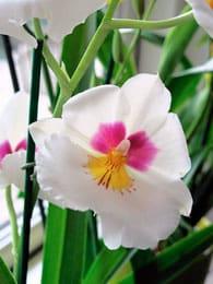korrekt vanding af orkideer
